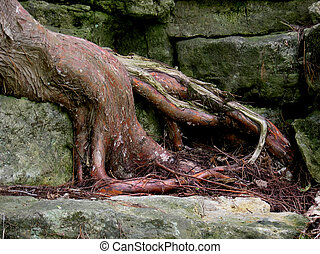 Grow in Escarpment 2 - The root system of a tree growing up...