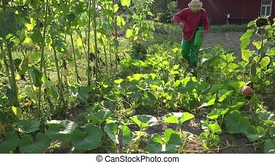 Grower cowboy man spraying pumpkin vegetables in farm....