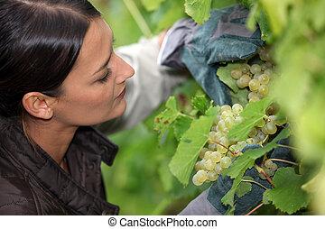 grower, examinando, uva, dela, uvas