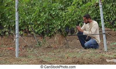 grower harvesting the wine grapes - grower inspects the...