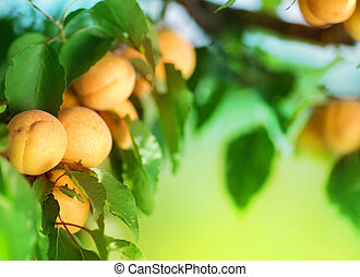Growing Apricot