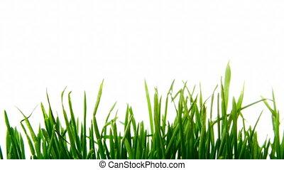 growing barley - timelapse of growing barley plants