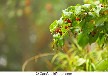 Growing branch of red berries raspberry in garden