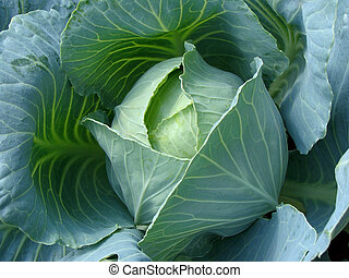 growing cabbage - cabbage head growing on the vegetable bed...