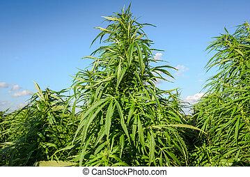 Growing cannabis plants - Marijuana plant on a background of...