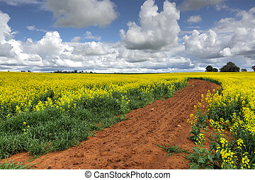 Growing Canola Fields