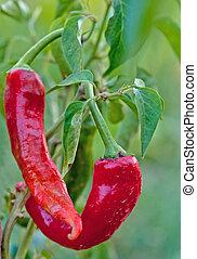growing chili