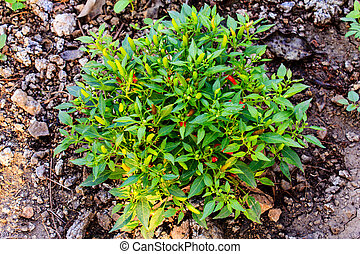 Growing chili peppers