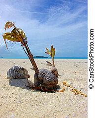 Growing Coconut on a sandbar
