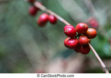A detail of coffee cherries on a tree captured near the city of Piura, region called Jijili. In the north of Peru, 2011.