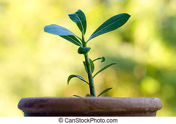 Close up of Young Adenium Obesum trees - Growing concept: ...