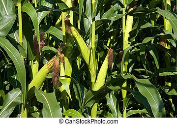 Ears of corn growing on stalks