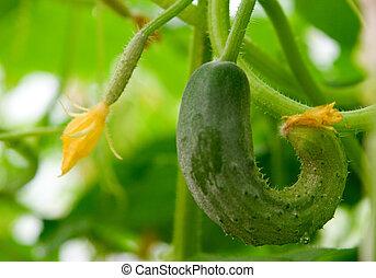 Growing Cucumber
