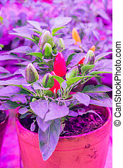 Growing decorative pepper under LED grow light.
