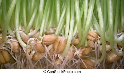 Growing edible grass at home. Green sprouts coming out of...