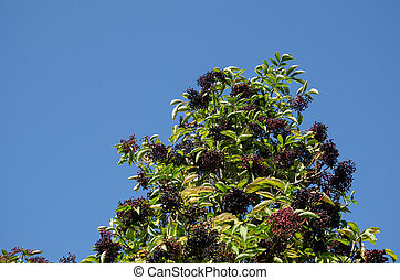 Growing elderberries in top of a bush