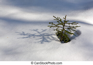 Growing fir-tree