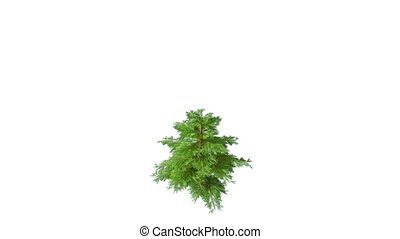 Growing fir tree isolated on white. With alpha matte.