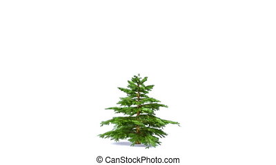Growing fir tree isolated on white. Alpha matte