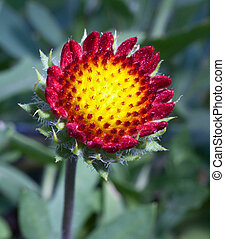 Growing flower - Red and yellow flower that is growing on...