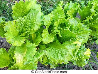 Growing fresh lettuce