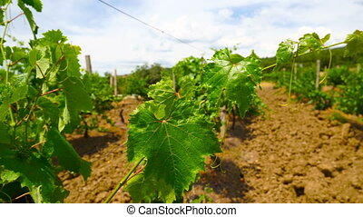 Growing grape vines closeup summer vineyard at the foot of...