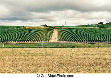 Growing grapes in France