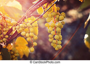 Growing grapes in sunset