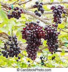 Growing grapes in vineyards