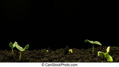 Growing green cucumber plant time lapse. Timelapse seed growing, Closeup nature agriculture shoot. Vegetable sprouting from the ground. macro.