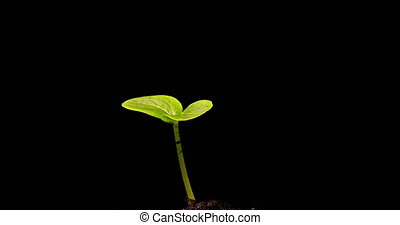 Growing green cucumber plant time lapse. Timelapse seed growing, Closeup nature agriculture shoot. Vegetable sprouting from the ground