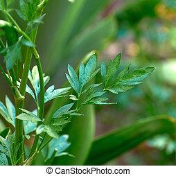 growing green parsley in the garden