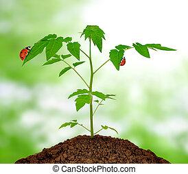 Growing green plant with ladybug