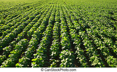 Growing green soybeans plant on field.
