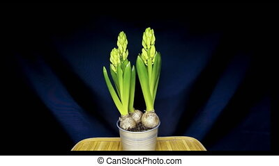 Growing hyacinth flower bulbs in pot isolated  in fast motion