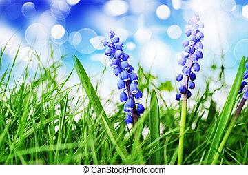 hyacinth flower - Growing hyacinth flower in green grass