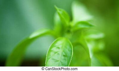 growing in the open air, young green basil