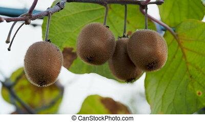 Growing Kiwifruit, kiwi or Chinese gooseberry. Actinidia...
