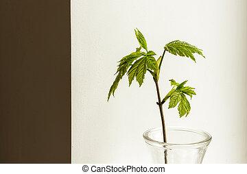 Growing leaves in a glass vase. Macro.