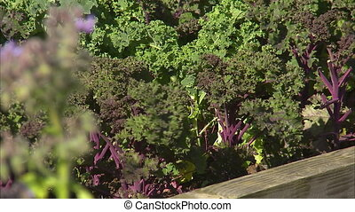 Growing lettuce with purple stems - A steady medium shot of...