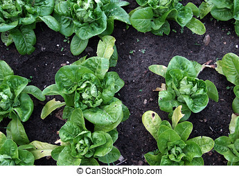 Growing Lettuces - Lettuces growing in vegetable patch