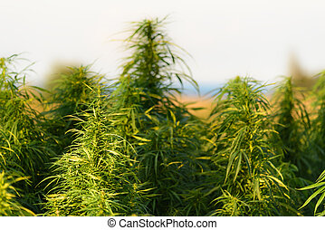 Growing marijuana plant