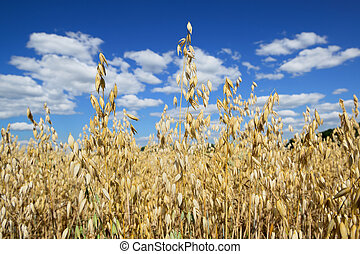 Growing oats field with sky on the background