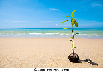 growing on the beach, Sprout of pong pong tree Suicide tree, Pong-pong, Othalanga (Cerbera odollam)