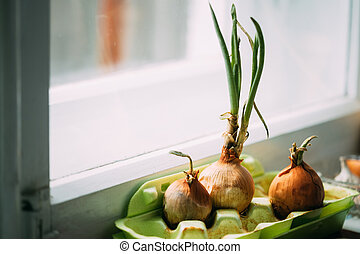 Growing Onions In A Container At Home. Fresh Spring Vegetables