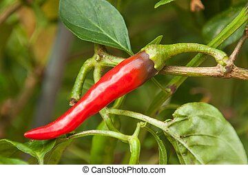 Growing or pepper in the garden. Spicy spice.