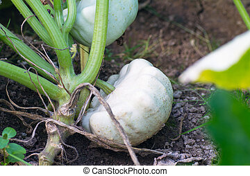 Growing patty pan squash