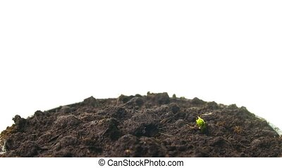 growing pea sprouts, tilt time-lapse