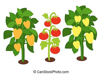 Growing Peppers and Tomatoes with Green Leaves