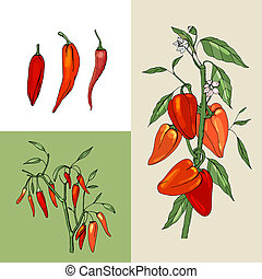 Growing peppers. Fresh red vegetables.